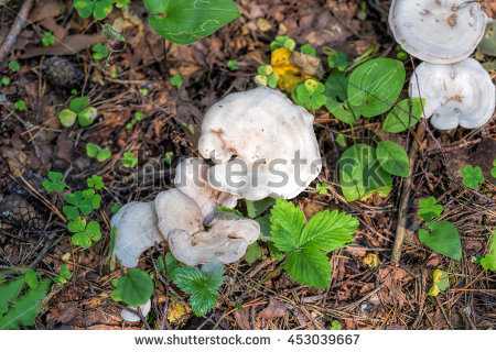 "fairy Ring Mushroom"" Stock Photos, Royalty."