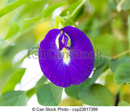 Pictures of Butterfly pea Clitoria ternatea L. on tree csp23917389.