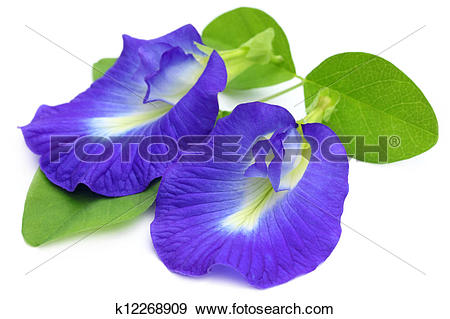 Stock Photograph of Clitoria ternatea k12268909.