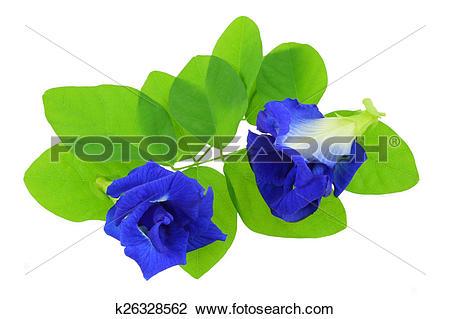 Stock Photo of Clitoria ternatea (Blue Pea) k26328562.