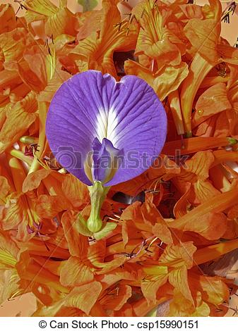 Stock Images of Flowers of Tecomaria capensis & Gokarna, Clitoria.