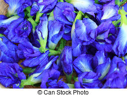 Stock Photography of Fresh Butterfly pea flower or Clitoria.