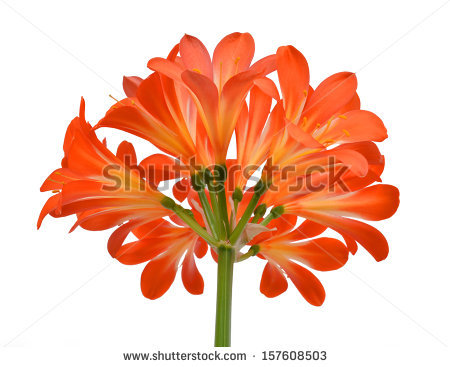 Clivia Flowers Stock Photos, Royalty.