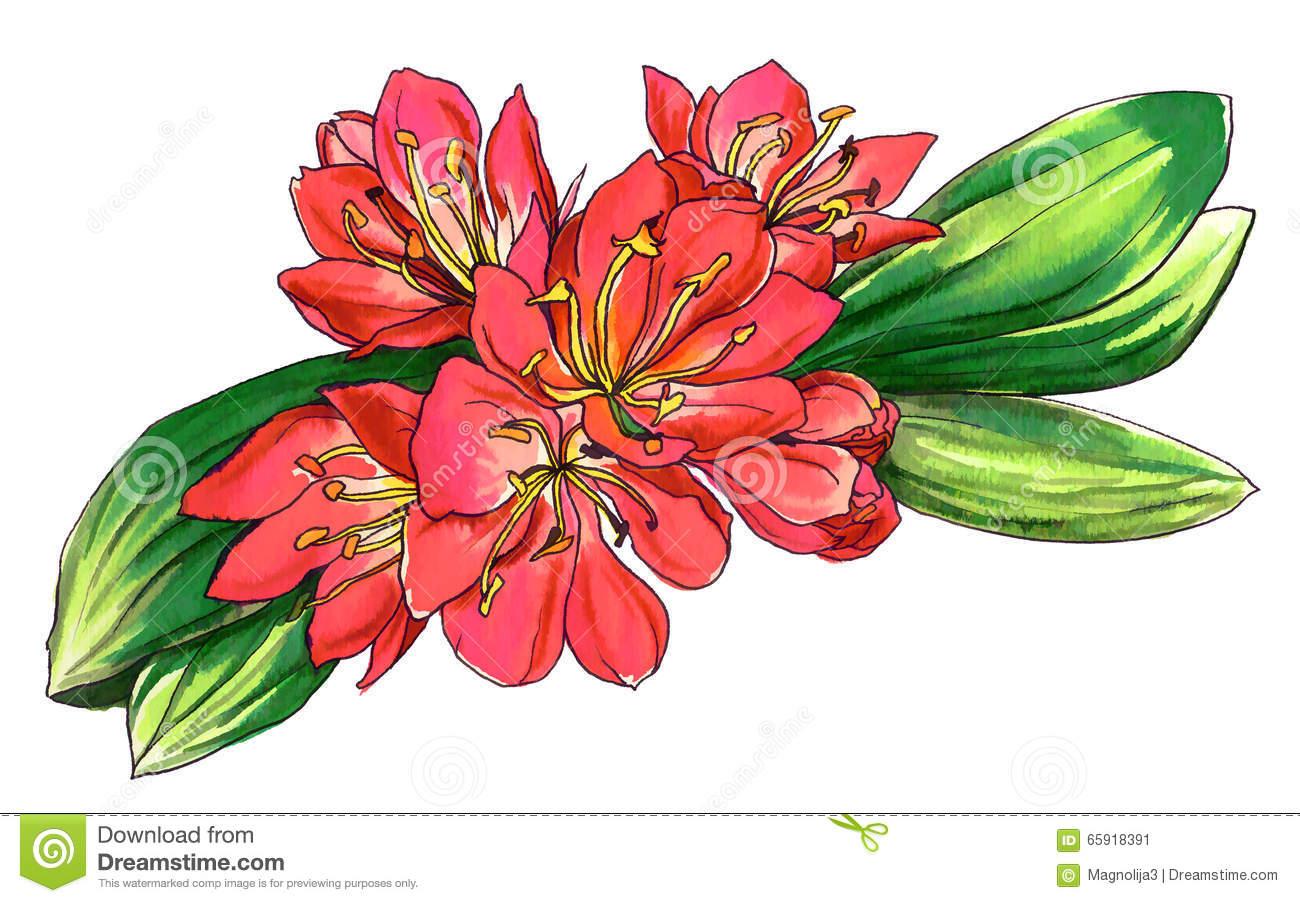 Decorative Red Tropical Flower Clivia Miniata In Blossom.