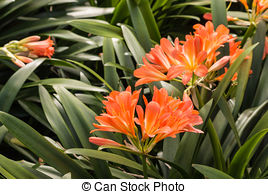 Stock Images of clivia miniata.