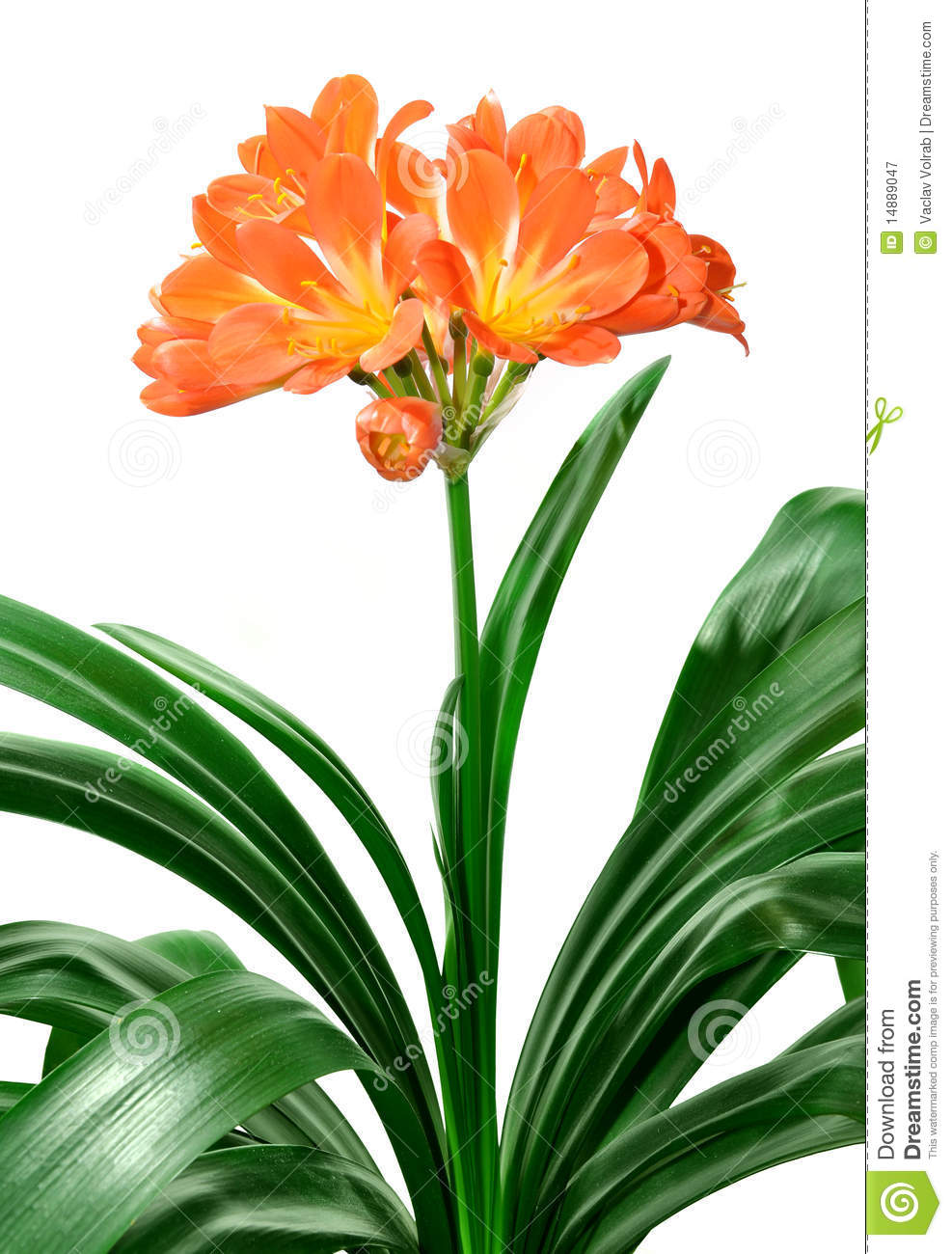 Clivia Miniata Royalty Free Stock Photography.