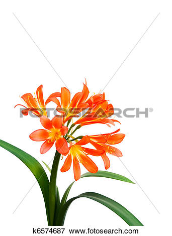 Picture of Clivia on White Background k6574687.