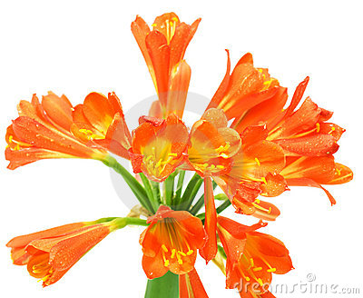 Clivia Miniata Flower Stock Photos, Images, & Pictures.
