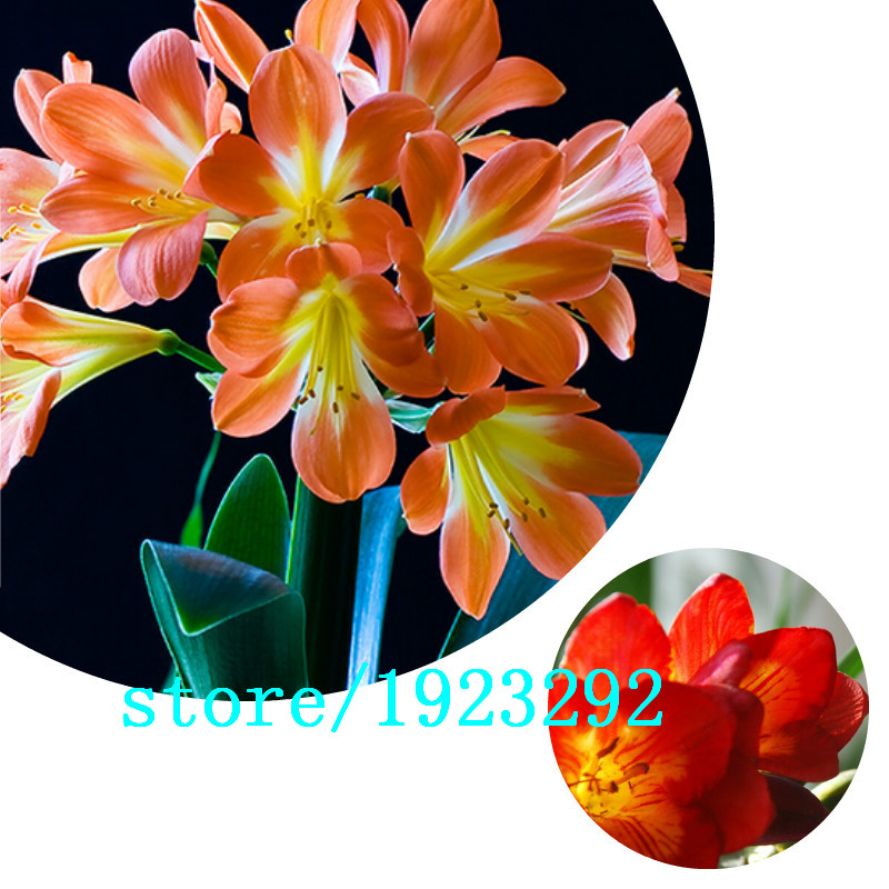 Clivia Plants for Sale Promotion.