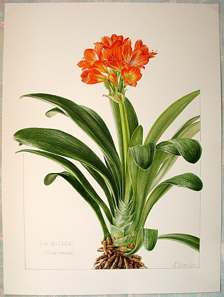 1000+ images about Clivia on Pinterest.