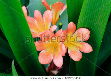 Clivia Stock Photos, Royalty.