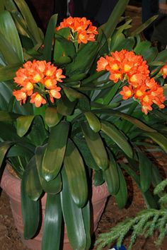 Growing feeding, Plant Care of Clivias The Clivia, is usually in.