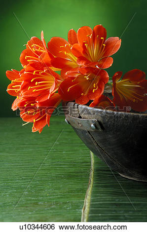 Stock Images of Clivia u10344606.