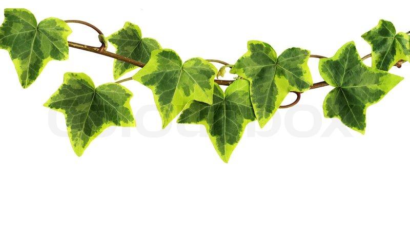 Climbing Ivy Clipart.