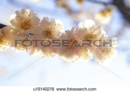 Pictures of flower, spring, ume flower, natural world, nature.