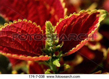 Pictures of Floral, Close, Bloom, Flower, Nature, Fresh, Red 174.