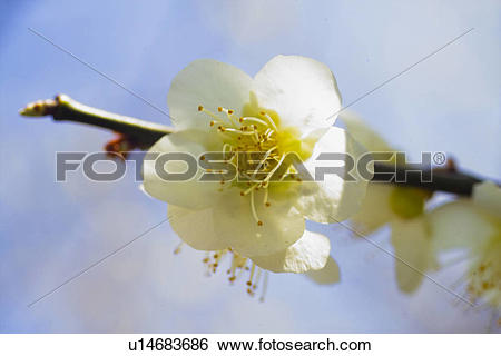 Stock Images of flower, spring, ume flower, natural world, nature.