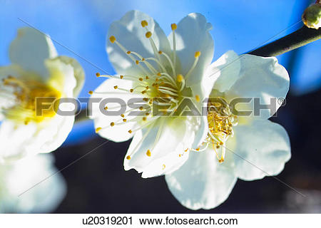 Stock Photography of flower, spring, ume flower, natural world.