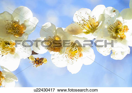 Picture of flower, spring, ume flower, natural world, nature.