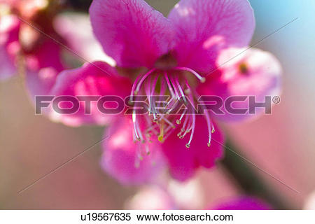 Stock Image of flower, spring, ume flower, natural world, nature.