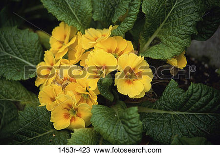 Stock Photo of leaves, yellow, flowers, cluster, nature, blooming.