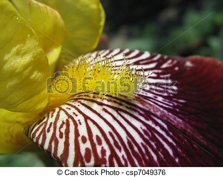 Stock Image of Close up of yellow iris stamen.