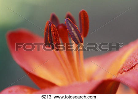 Stock Photo of Closeup of pink flower with stamen and pistil 6213.