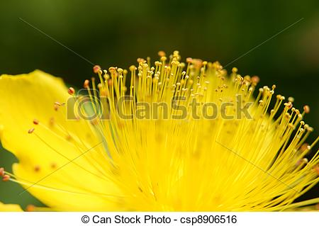 Stock Image of Stamen of a yellow flower (close.