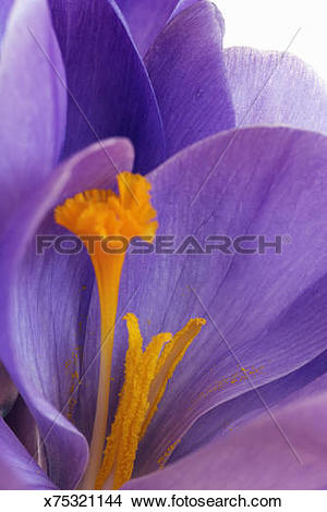 Stock Photo of Purple crocus and yellow stamen, close.