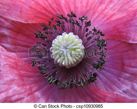 Pictures of Inside a flower. Stamens of pink poppy. Macro.