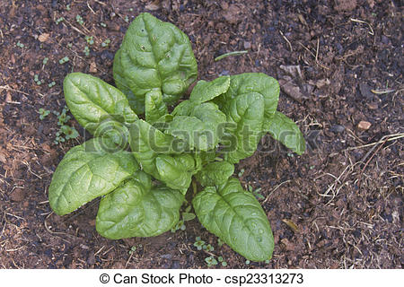 Picture of Wet Spinach Plant.