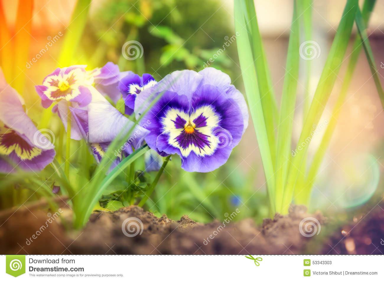 Heartsease, Flower Garden.