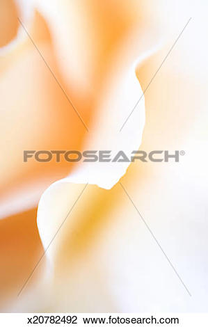 Stock Photo of Close up view of a rose petal (Rosa sp.) x20782492.