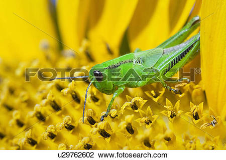 Stock Photo of Grasshopper on a yellow sunflower, close up view.