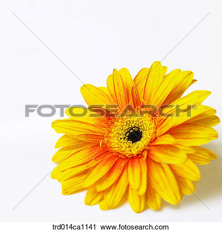 Stock Photography of object, object, flower, yellow, close.