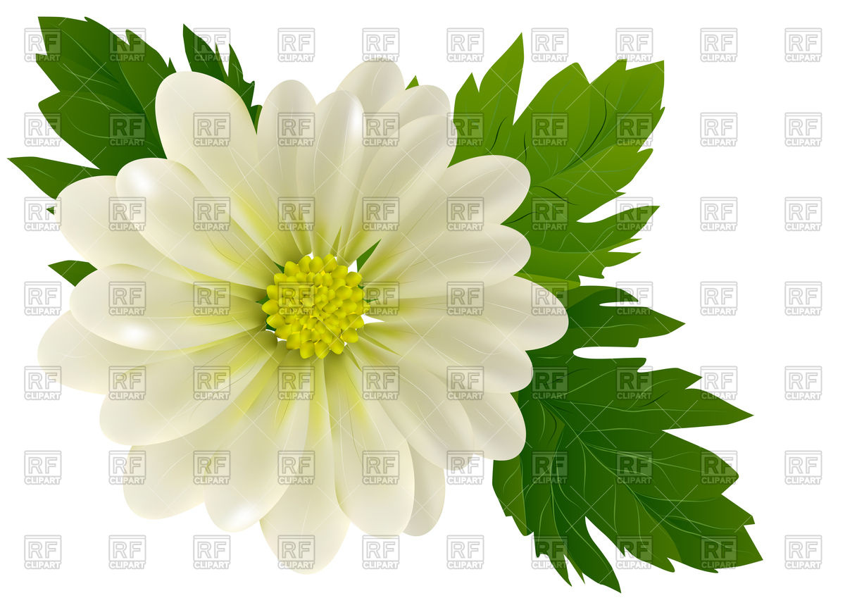 Beautiful chrysanthemum flower close.