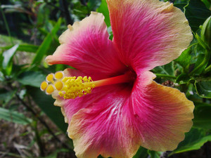 Hibiscus Flower Photo Clipart Image.