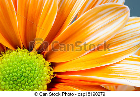 Picture of Dyed Daisy Flower White Orange Petals Green Carpels.