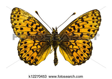 Stock Photo of Boloria (Clossiana) titania (Titania's Fritillary.