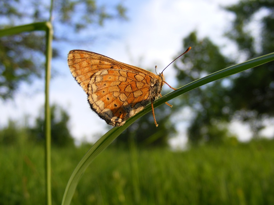 Free photo Bordered Pearl Fritillary Butterfly Clossiana.