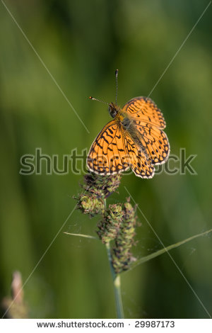 Boloria Selene Stock Photos, Images, & Pictures.