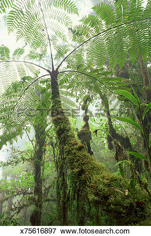 Picture of Fern tree in Cloud Forest x75616897.