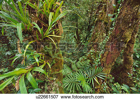 Picture of Epiphytes in cloud forest, Mt Kinabalu National Park.