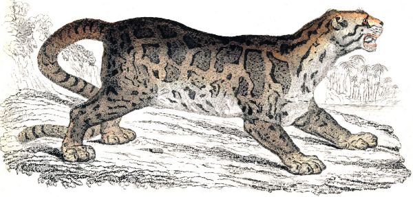Clouded leopard clipart.