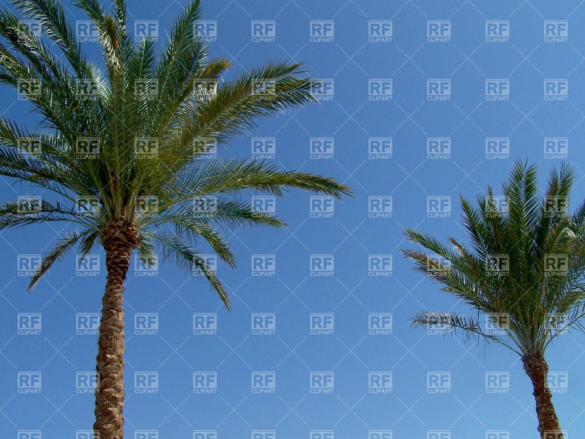 Two palm trees and cloudless sky Vector Image #503.