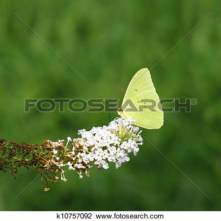 Stock Photo of A Cloudless Sulphur (Phoebis sennae) on the tip of.