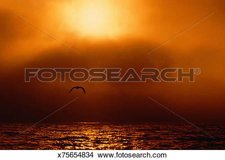 Stock Photo of Bird flying over water, sun setting behind veil of.