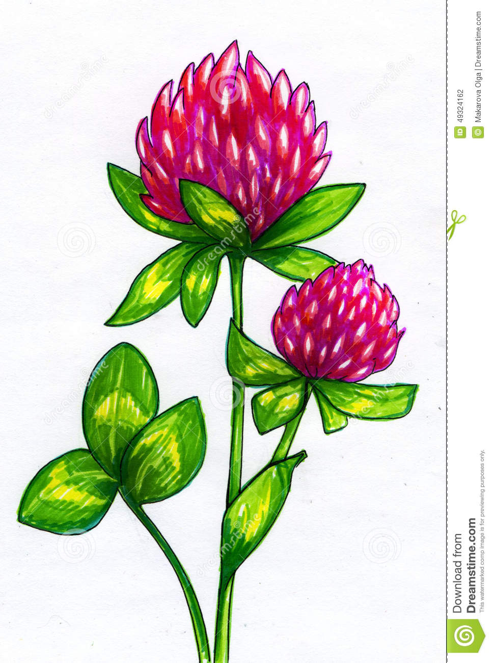 Drawing Of Clover Flowers Stock Illustration.