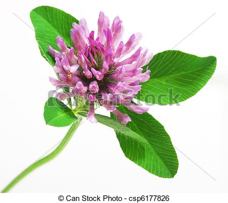 Stock Image of Red Clover flower.