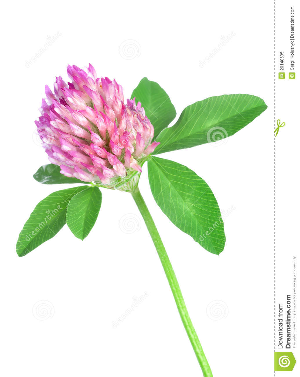 Red Clover Royalty Free Stock Photo.